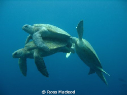 I'd been diving at Sipadan with hundreds of turtles for o... by Ross Macleod 